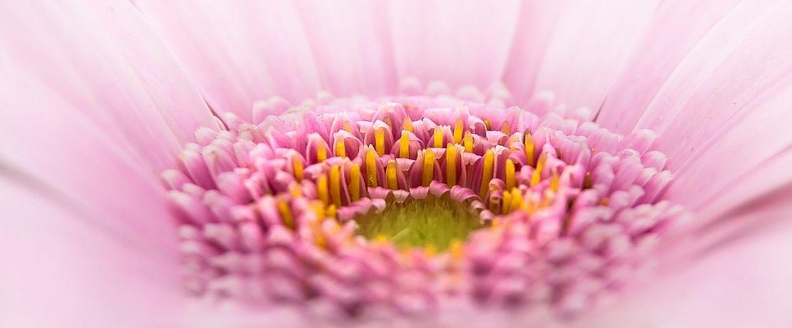 picke Blüte